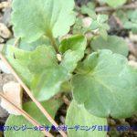 071117ビオラのこぼれ種から生えた苗