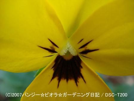 071109pansy1.jpg