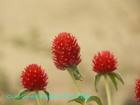 061117こぼれ種の千日紅(せんにちこう)