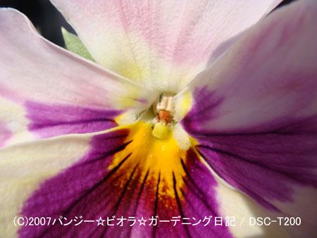 071109パンジー☆ビオラ☆ガーデニング日記2007年秋