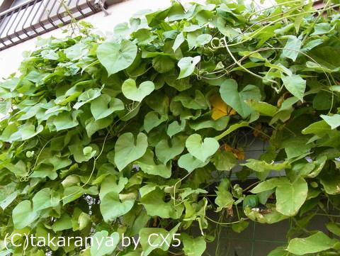朝顔で作る緑のカーテン経過報告2011